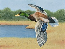 2015 winner Junior Duck Stamp Contest