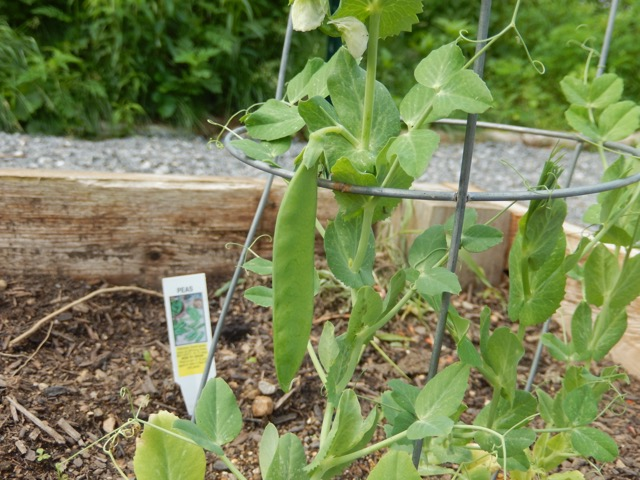 Peas in garden