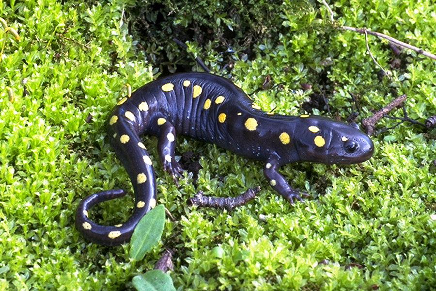 yellow-spotted salamander